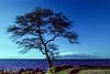 Wailea, Maui, Hawai'i: Coastal Tree No.1 (rocinante11) Tags: hawaii maui waliea coast ocean pacificocean coastline film slidefilm filmcamera canona2e crossprocessed blue