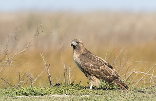 Red-tailed Hawk on the Ground