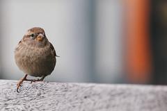 ...non andare via (FButzi) Tags: passerotto sparrow loano liguria italia italy bird birds bokeh