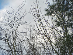 Overcast Sky Behind Trees. (dccradio) Tags: lumberton nc northcarolina robesoncounty outside outdoors nature natural beauty scenic tree trees cloud clouds whiteclouds sky bluesky morning goodmorning sticks branches treelimbs treelimb treebranch treebranches canon powershot elph 520hs