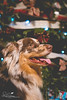 Tails by the Tree (amndcook - happy & blessed) Tags: bokeh winter season amandacook canine christmas animal lights advent evergreen tree pet annieoakley decoration spiritledphotography dog pentax