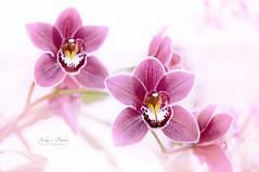 Phalaenopsis (Jacky Parker Flower Photography) Tags: phalaenopsis orchids flowers pink closeup exotic flora floralart freshness beautyinnature highkey horizontalformat selectivefocus focusonforeground nopeople inflower inbloom frontfacing