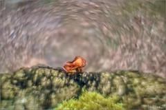 Swirly mushroom. (valpil58) Tags: bokeh swirly macroart mushroom m42