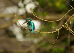 endcliffe park kingfisher sheffield 2018 (20) (Simon Dell Photography) Tags: endcliffe park bingham whitley woods forge dam kingfisher bird rare blue orange winter spring grey animal nature together wildlife sheffield botanical gardens simon dell photography 2018 feb 24 sunny detail high res perched sitting fishing