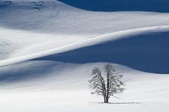 The Lonely (pdxsafariguy) Tags: tree winter snow shadow stark haydenvalley yellowstone nationalpark wyoming usa silent landscape meadow barren loneliness hill cold lonely tranquil tomschwabel