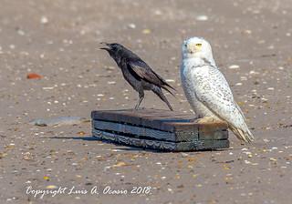 Snowy Owl - Crow