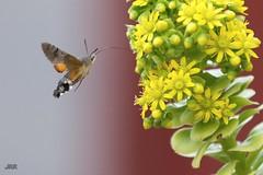 Libando mientras vuela. (Jesús Ro) Tags: animales volar colores d600 flores fauna flora jrr jardín nikond600 naturaleza exterior zaragoza insecto pájaro