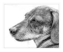 Friend (moniquevantorenburg) Tags: dog dachshund teckel jip friend old blackandwhite zwartwit mono monochrome animal love olympus mirrorless spiegelloos olympusomdem5markii olympus4015028pro m43 mft microfourthirds monique portrait animalportrait portret hond