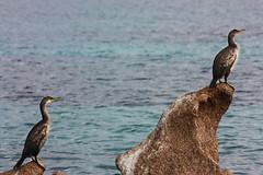 IMG_6558-1 (Andre56154) Tags: sardinien sardegna sardinia italien italy italia meer ozean ocean wasser water küste coast animal vogel bird