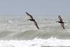 Outer Banks (RPahre) Tags: pelican brownpelican padreisland padreislandnationalseashore bird atlanticocean