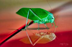 Belleza reflejada #InspiracionBdF45 (hectorbcruz) Tags: esperanza reflejo saltamontes grillos chapulines langostas grasshoppers crickets locusts