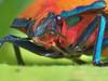 Hibiscus Harlequin bug Female P1100311 (Mike G Gordon) Tags: hemiptera scutelleridae tectocoris diophthalmus hibiscus harlequin cotton sydney