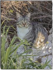 GATO (BLAMANTI) Tags: gatos gato felinos domestico silvestres hermoso canon canonpowershotsx60 blamanti