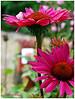 7DWF – Fridays: Flora   Echinacea (magritknapp) Tags: königlichegartenakademieberlin echinacea blätter bokeh leaves feuillage follaje folhagem fogliame lövverk løv loofwerk liście