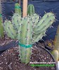 Myrtillocactus cochal (pic 7 stem growth detailed) (mattslandscape) Tags: myrtillocactus cochal candelabra cactus kakteen mexico cereus geometrizans var plant droughttolerant landscapeplant