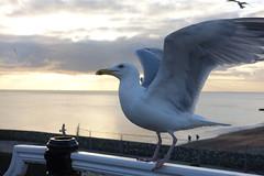 See Gull (Henry Hemming) Tags: seagull herring gull brighton palace pier sussex fun seaside dark dusk sunset