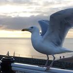 See Gull thumbnail