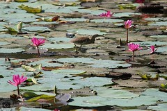 Pink Lotus, green leaves and a pond heron walking over the leaves to  catching fishes. (ramsugesh) Tags: naturephotography nativity earlymorningvibe sunlight green trees leaf nature dragonfly canon1300d portraitphotographer lighting picoftheday colourful antipolution canonindia canon pick red floral canon1855 reflection flowers officialphotographyhub indianheron heronbird