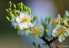 DSC09332 (Jethuynh | 0903689703) Tags: mai trang apricot white hoa xuan tao dan
