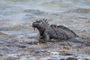Marine Iguana with a snack 500_3640.jpg (Mobile Lynn) Tags: wild marineiguana iguana reptiles nature amblyrhynchuscristatus fauna reptile wildlife baltra galapagosislands ecuador ec coth specanimal coth5 ngc npc