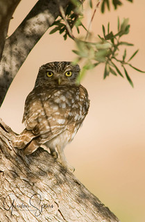 Little Owl In Shade