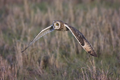Short Eared Owl hunting over the marsh (Chris Bainbridge1) Tags: asioflammeus shortearedowl in flight cambridgeshire canon eos 5dsr hunting marsh marshland