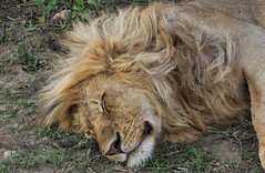 Enjoying a Well-Earned Break (AnyMotion) Tags: lion löwe pantheraleo male cat sleeping schlafend rest ruhepause katze portrait porträt porträtaufnahmen 2018 anymotion ndutu ngorongoroconservationarea tanzania tansania africa afrika travel reisen animal animals tiere nature natur wildlife 7d2 canoneos7dmarkii ngc npc