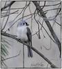 Tufted Titmouse_DSC1894 photoshop NIK edit © (nkatesphotography) Tags: peacevalleypark naturecenter fountainvillepa nikond5 nikonafs300mmf4epfedvr nikontc14elll birds wildlife nature tuftedtitmouse