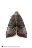 The Wedgeling - Hodges#9688 (Galgula partita) 20180224_2003.jpg (Abbott Nature Photography) Tags: photography neoptera noctuoidea hexapoda whiteseamlessbackground lepidopterabutterfliesmoths organismseukaryotes endopterygota pterygota animals noctuidaeowletmothsmillermoths arthropodaarthropods technique invertebratainvertebrates insectainsects moth gordo alabama unitedstates us