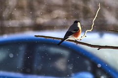 Bullfinch (Staropramen1969) Tags: bullfinch birds winter dompfaff vögel camachuelo pájaros invierno