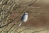 Great Grey Shrike Lanius excubitor 009-1 (cwoodend..........Thanks) Tags: wildlife gloucestershire greatgreyshrike greyshrike shrike thebutcher butcher hawling laniusexcubitor laniidae