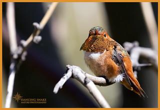 _03A5574 - Allen's Hummingbird ©Dancing Snake Nature Photography3