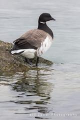 Brant, Barnegat Light S.P., NJ (zellerw0) Tags: bird brant birding goose ocean newjersey statepark barnegat