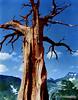 Ansel Adams, Juniper Tree, Sierra Nevada, 1938, colorized by Alex Lim (Alex Y. Lim) Tags: anseladams colorized nature juniper tree carmelhighlands sieranevada sky clouds landscape trunk branches