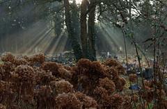 Lichtstrahlen (chipdetty) Tags: sachsenanhalt magdeburg landeshauptstadt westfriedhof friedhof bäume sunbeams cemetery impressionen dunst mist park lichtstrahlen sonnenstrahlen