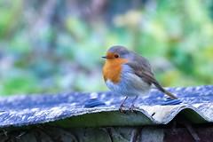 Rotund Robin (stellagrimsdale) Tags: robin robinredbreast bird roof red