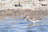 Dunlin 20170507 4 (SueWright2013) Tags: animals birds dunlin shorebirds