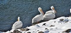 Pelicans_9406 (Porch Dog) Tags: 2018 garywhittington kentucky nikond750 nikkor200500mm january winter outandabout bird avian wildlife nature