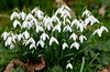 Just around the corner. (pstone646) Tags: snowdrops flowers flora closeup kent nature white green petals leaves