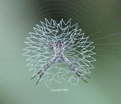 spider web pattern (Phil Arachno) Tags: thailand chiangmai spider spinne arachnida chelicerata argiope araneidae asien asia