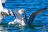 Gaviota patiamarilla (Ignacio Javier ( Nacho)) Tags: acuaticas gaviotas aves flickr páginafotografia faunayflora