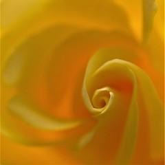 Sunny yellow! (peeteninge) Tags: macromondays monochrome yellow flower rose macro geel roos bloem fujifilmxt2 fujifilm