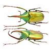 Theodosia antoinei Nagai, 1998 绿艳兜型花金龟 (Easyparadise) Tags: beetle collection coleoptera metal color insect nature animal scarab specimen macro entmology museum cetoniinae biodiversity 昆虫 甲虫