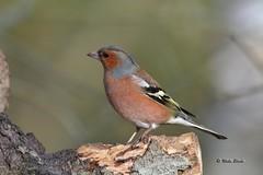 Chaffinch (m) (Mike Slade.) Tags: chaffinch fringillacoelebs male bird stovercountrypark newtonabbot devon england ©mikeslade