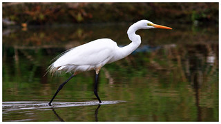 大白鷺   Great egret – Ardea alba
