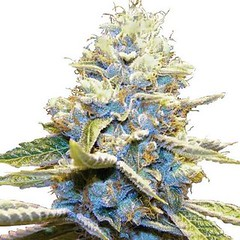 skywalker-og-seeds-fem-1_large (Watcher1999) Tags: skywalker og kush cannabis marijuana medical seeds growing ganja smoking weed quality