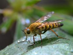Thereva sp Stiletto fly - possibly T. nobilitata (Common stiletto) (Carrie Williams_13) Tags: therevidae therevasp diptera asiloidea stilettofly insect wildlifegarden invertebrate sigma105mm nikond3100 uk wildlife hfdf