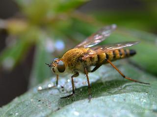 Thereva sp Stiletto fly - possibly T. nobilitata (Common stiletto)