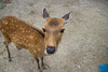 Hey, hooman (anna.letoile) Tags: 鹿 奈良 日本 動物 かわいい nara deer cute narapark 奈良公園 japan nihon japantrip canon canoneos550d tamron closeup animal animalportrait pov wideangle