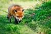 On the prowl (Marco Cinnirella) Tags: fox